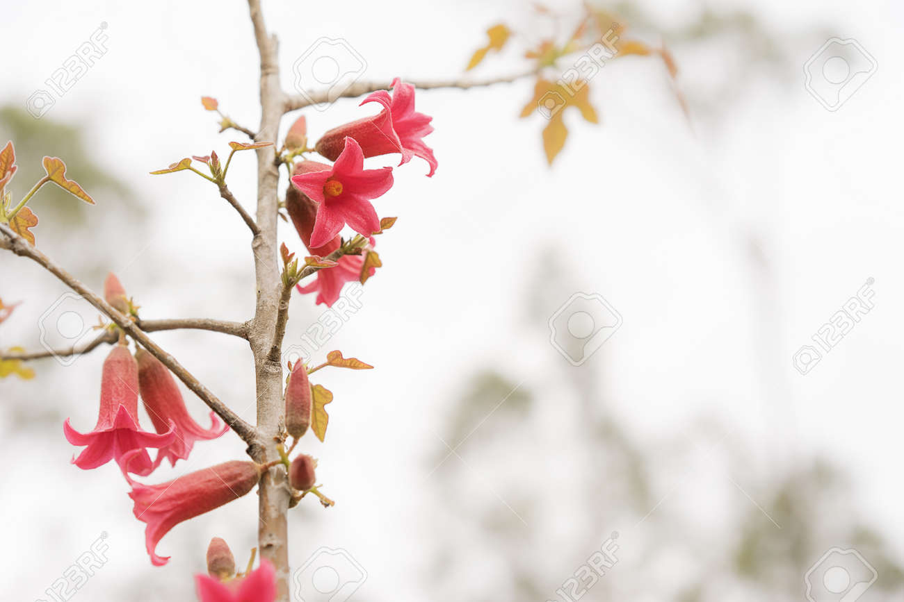 Australian Red Bell Flowers Of Brachychiton Bidwillii In Spring