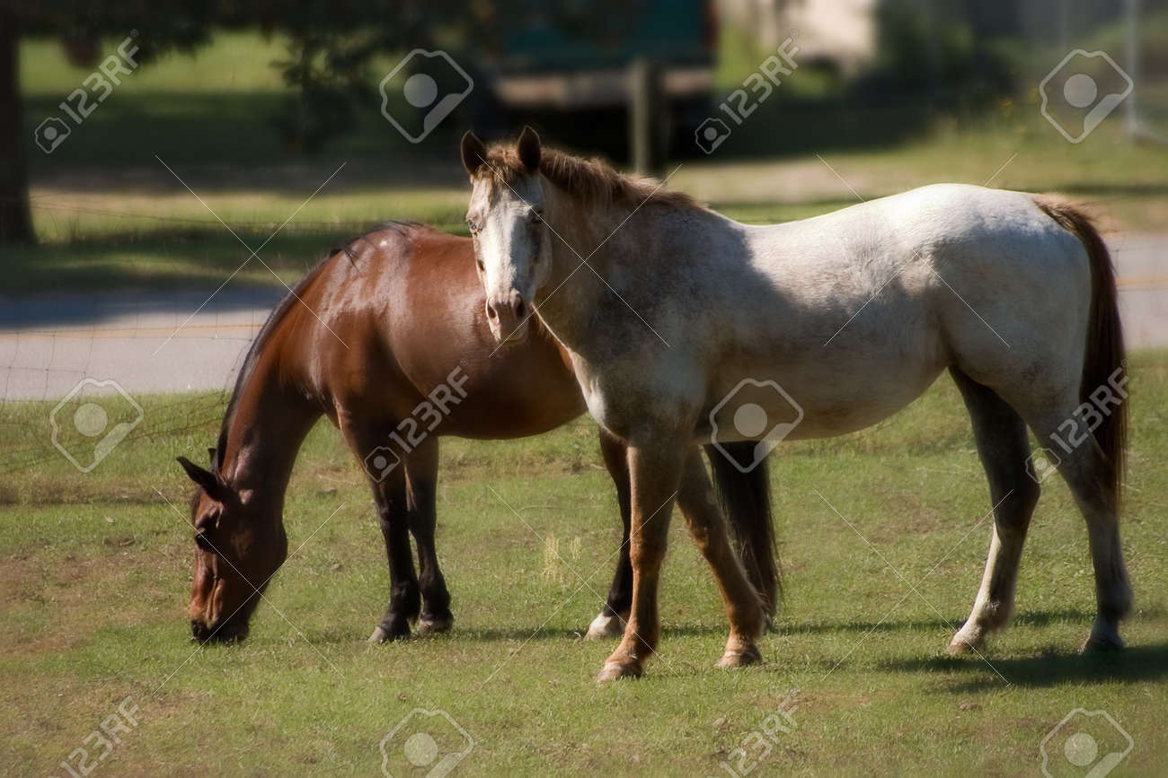 Bay Quarter Horse gelding and roan Appaloosa mare grazing in