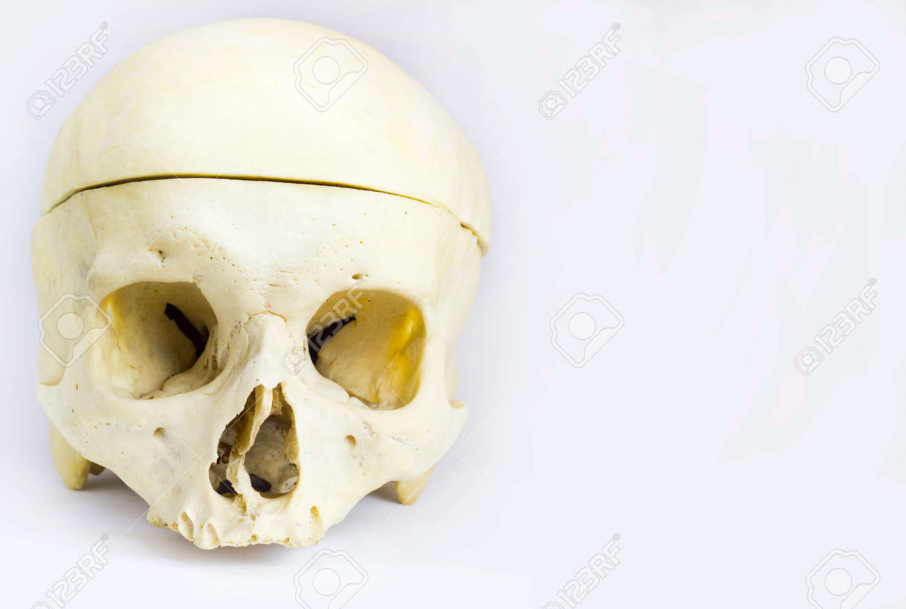 Front Anatomical View Of Human Skull Bone With The Vault Of The