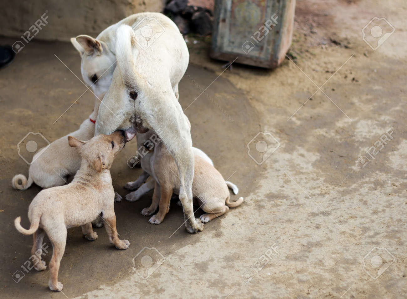 puppies of indian street dogs suckling tits of mother dog
