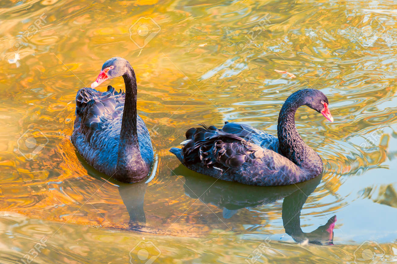 Black Swans Wild Nature Wallpaper Stock Photo