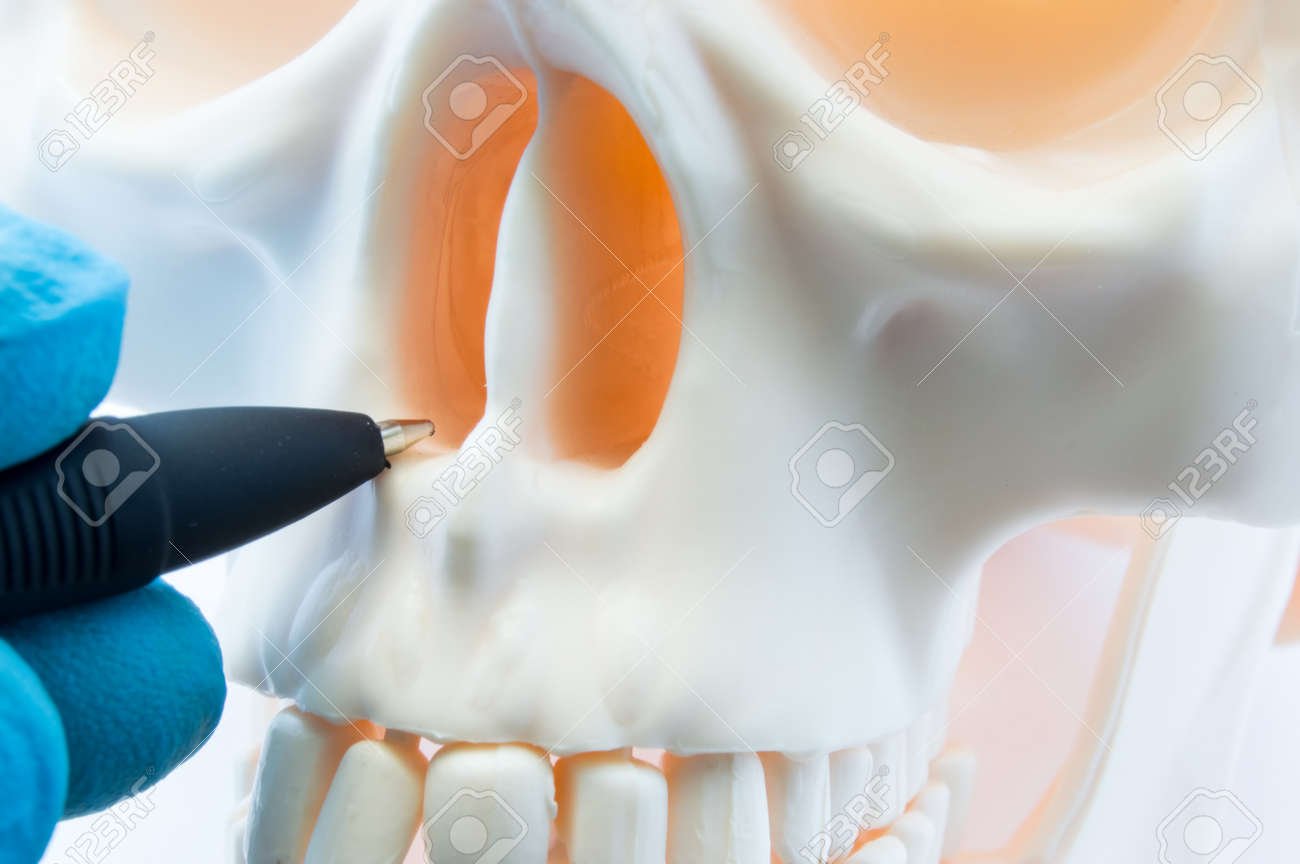 Doctor Showing Patient Bone Anatomy Of Skeleton Of Nose And Nasal ...