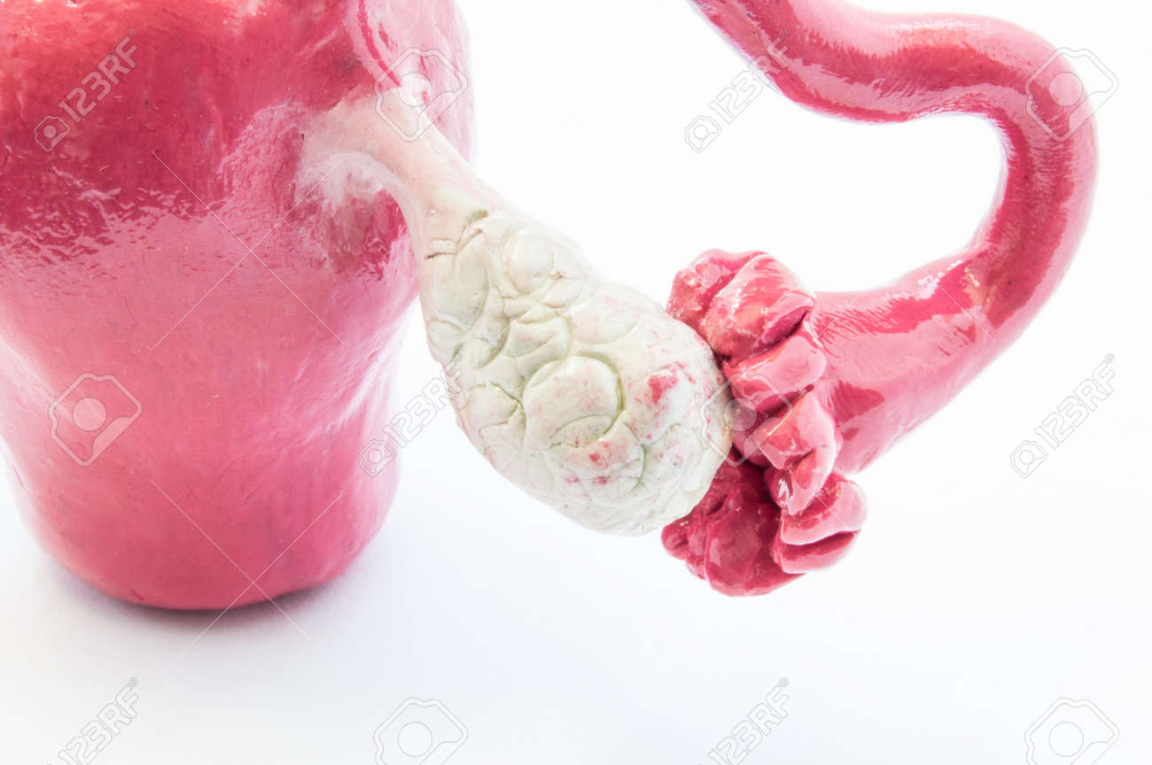Anatomical 3D Model Of The Ovaries, Fallopian Tube And Uterus ...