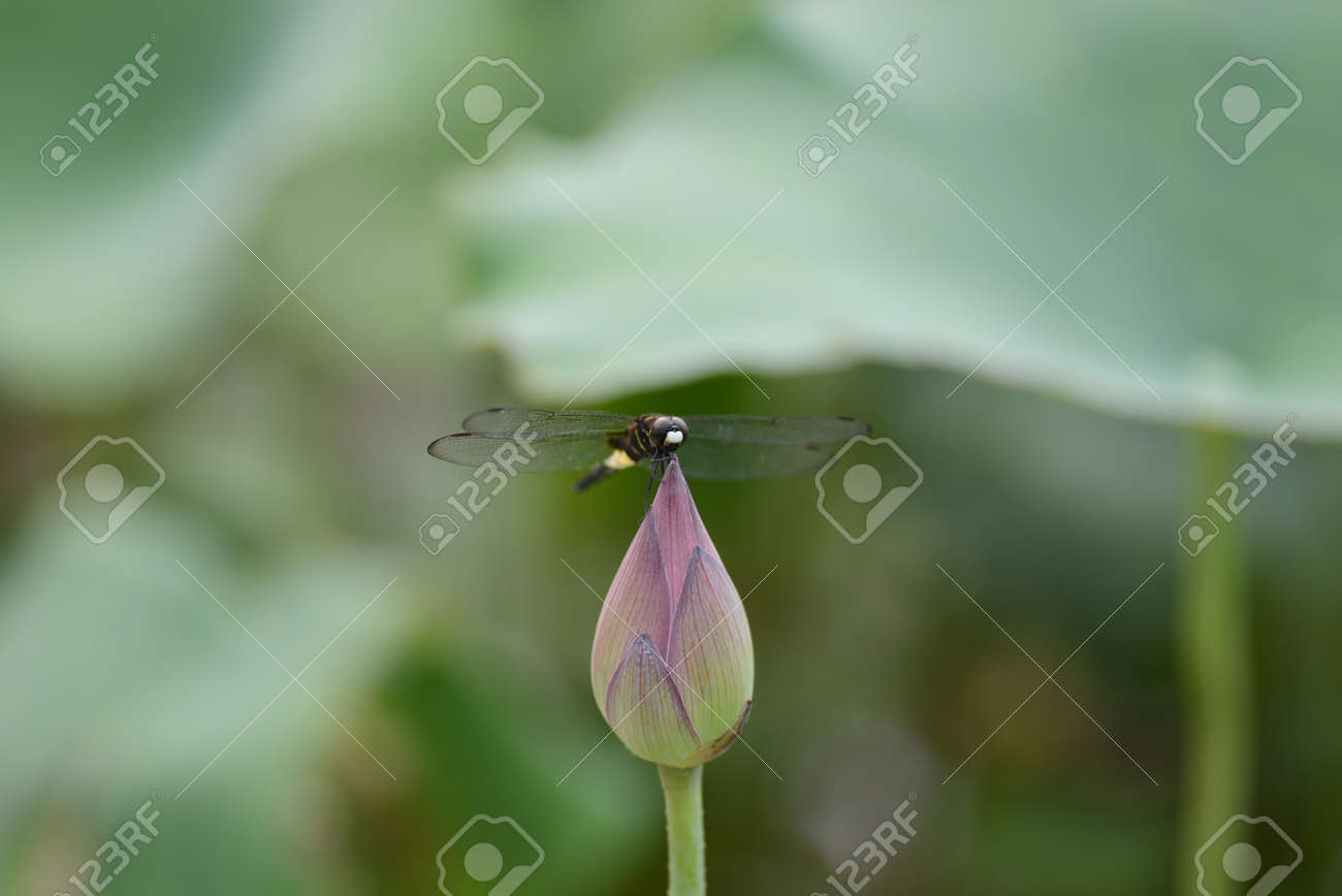 Dragonfly On Lotus Flower Stock Photo Picture And Royalty Free