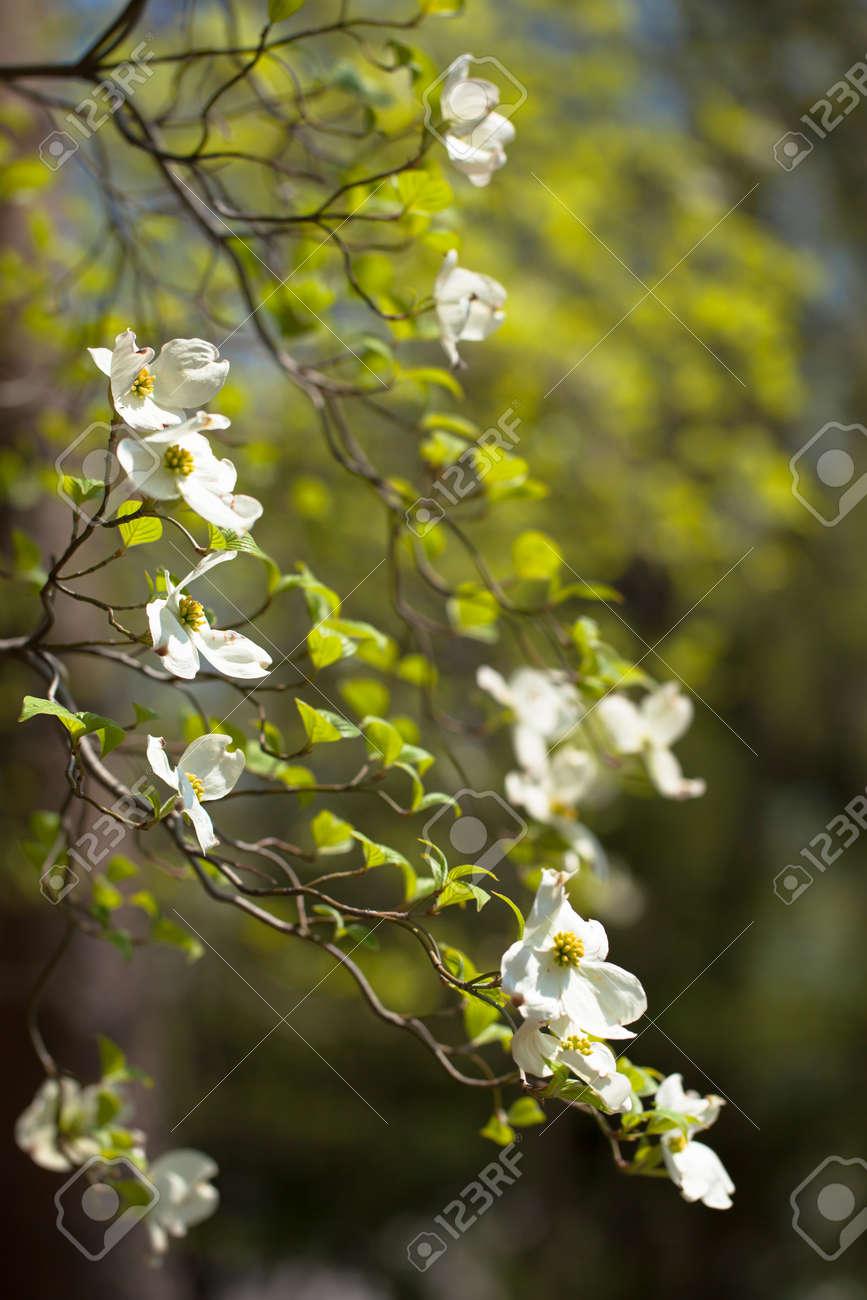 White Flowering Dogwood Tree Cornus In Bloom In Sunlight Stock Photo