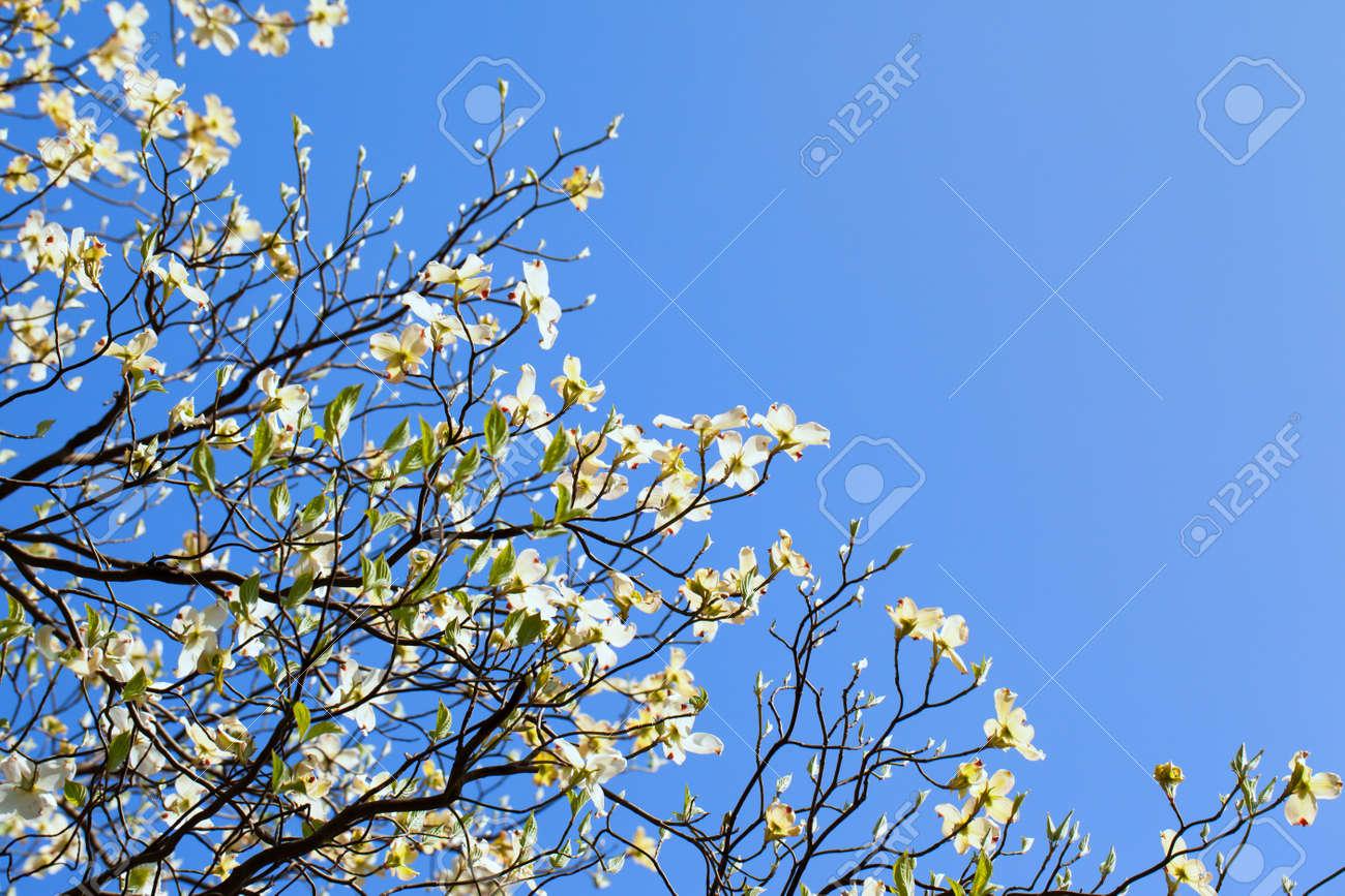 White Flowering Dogwood Tree Cornus Florida In Bloom In Blue