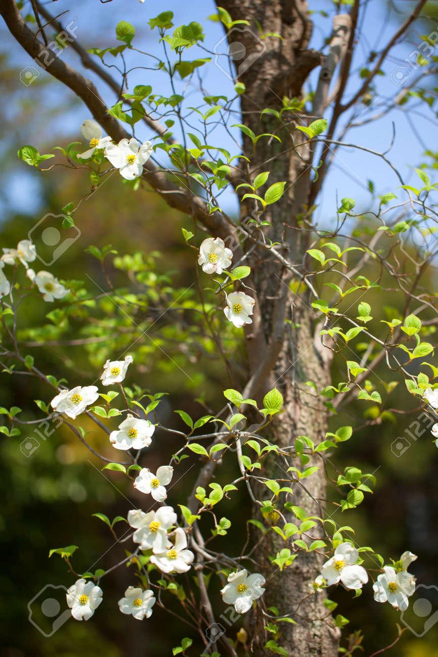 White Flowering Dogwood Tree Cornus Florida Japan Stock Photo