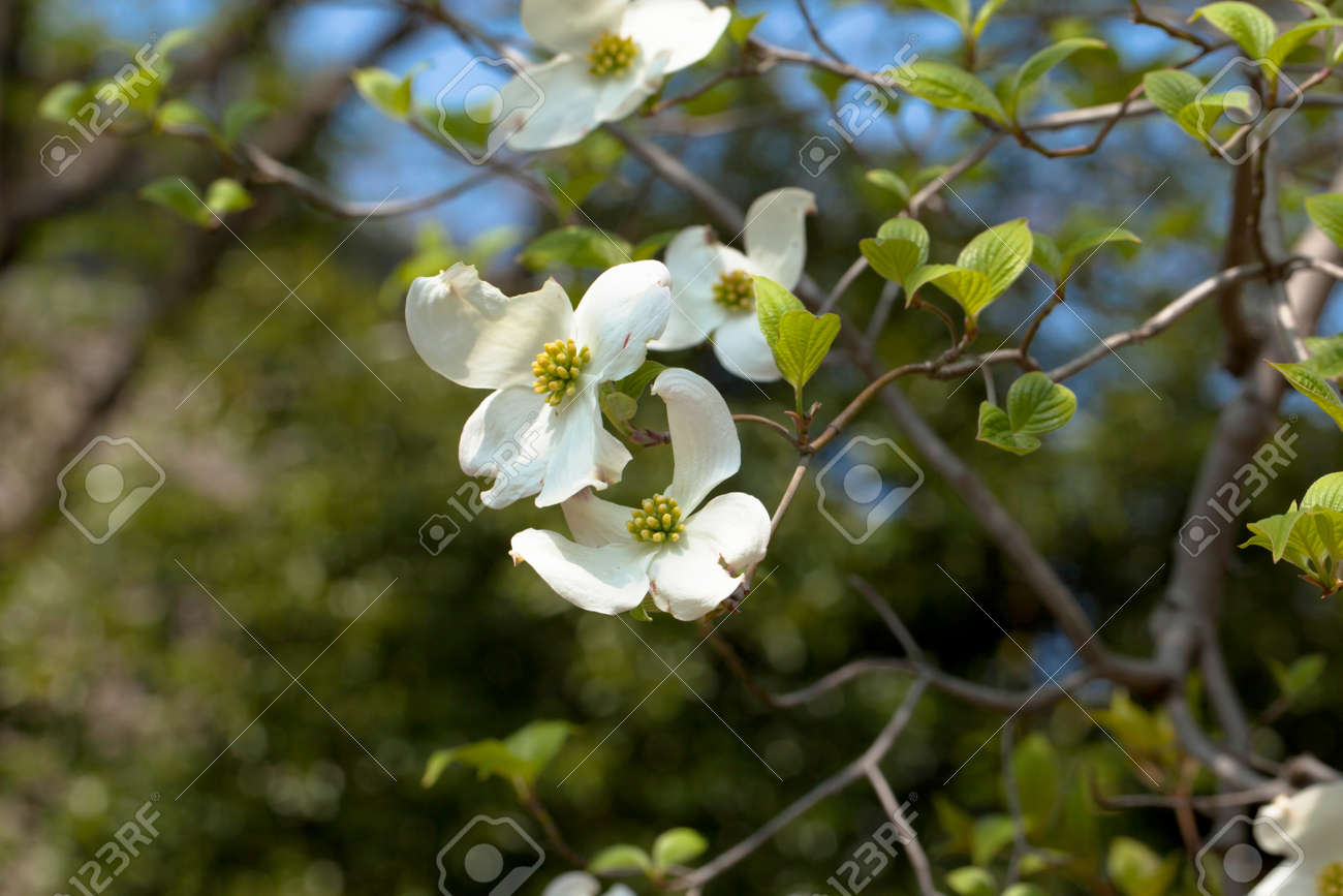 White Flowering Dogwood Tree Cornus Florida In Bloom Closeup Stock