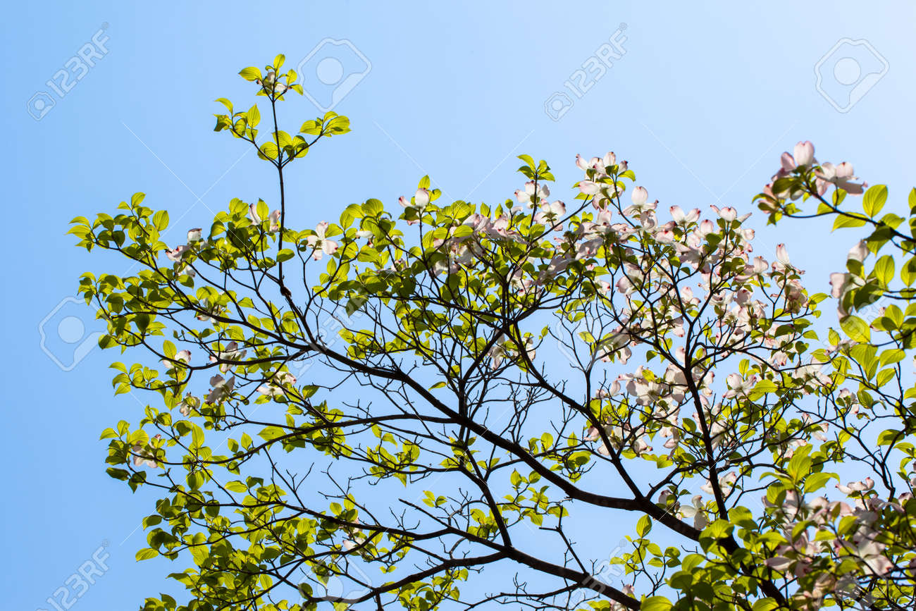 White flowering dogwood tree cornus florida in bloom in blue stock stock photo white flowering dogwood tree cornus florida in bloom in blue sky mightylinksfo