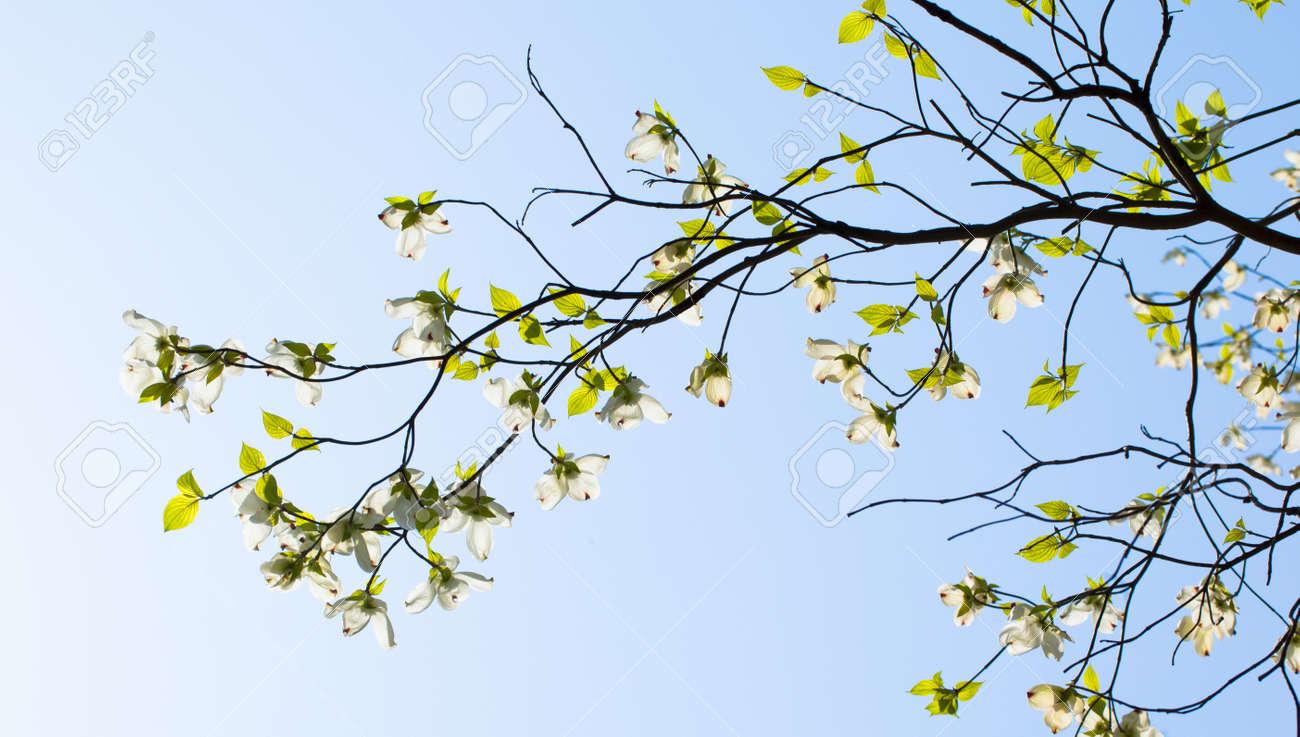 White Flowering Dogwood Cornus Florida In Bloom Stock Photo Picture