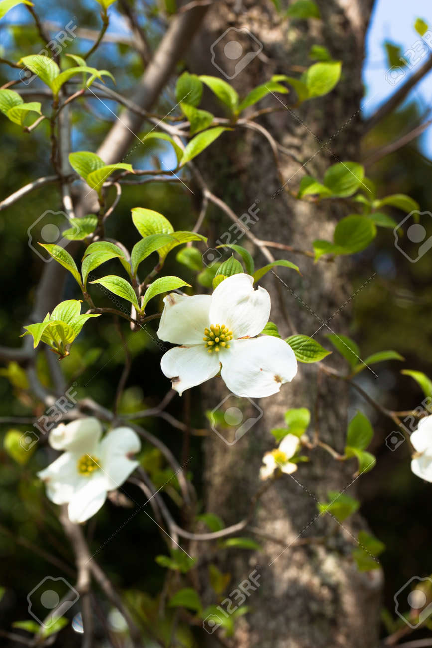 White Flowering Dogwood Tree Cornus Florida In Bloom In Blue Stock