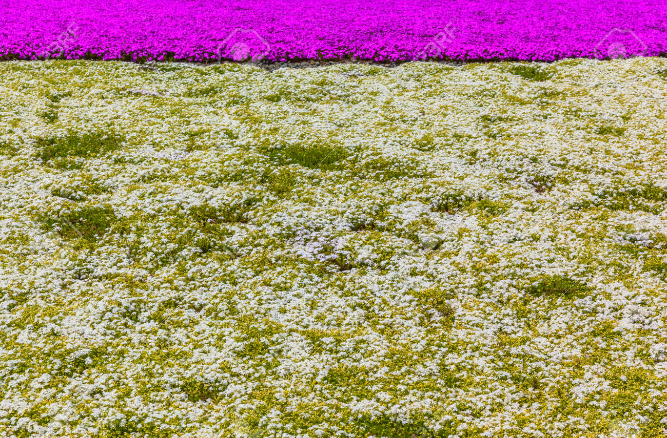 Pink And White Moss Phlox Flowers Flowers Stock Photo Picture And