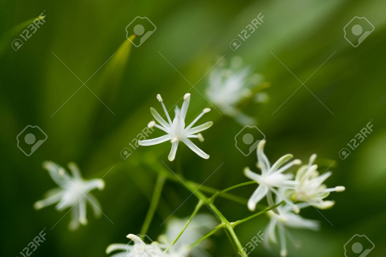 Small White Flowers Acienta Sp Preru Stock Photo Picture And