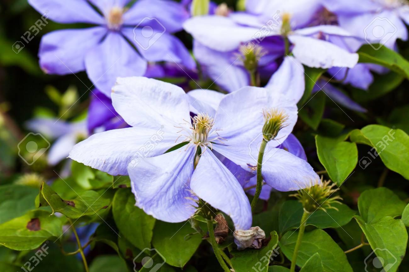 Fleur de clématite mauve clair