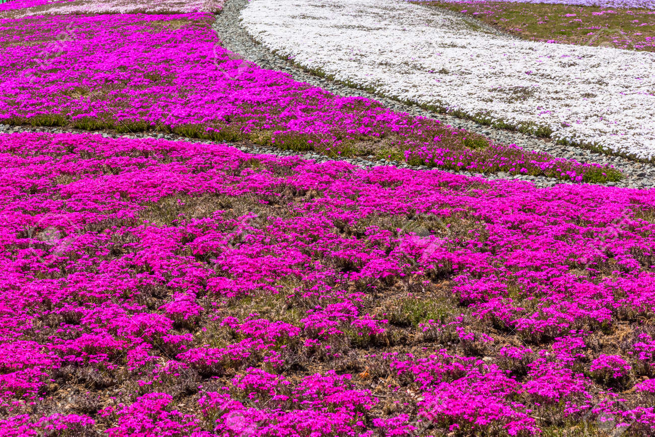 Pink And White Moss Phlox Flowers Stock Photo Picture And Royalty
