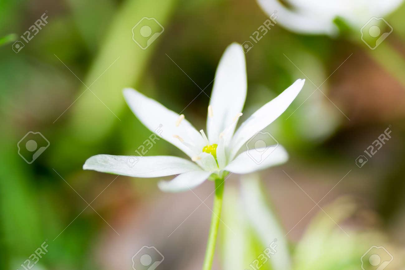 White spring starflower ipheion uniflorum stock photo picture and stock photo white spring starflower ipheion uniflorum mightylinksfo