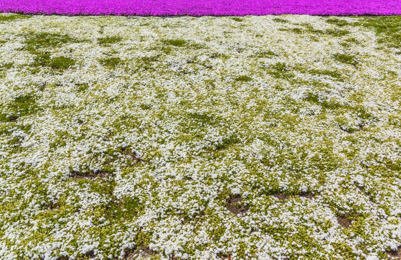 White Moss Phlox Flowers Stock Photo Picture And Royalty Free Image