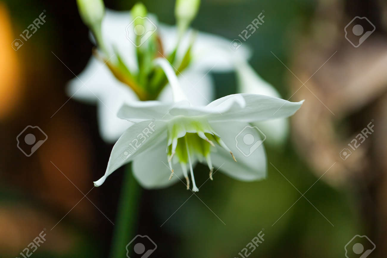 Amazon Lily Amaryllidaceae Colombia Andes Mountains Stock Photo
