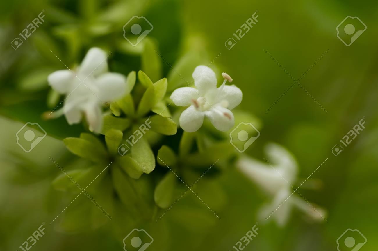 Abelia Chinensis Var Ionandra Caprifoliaceae Stock Photo Picture