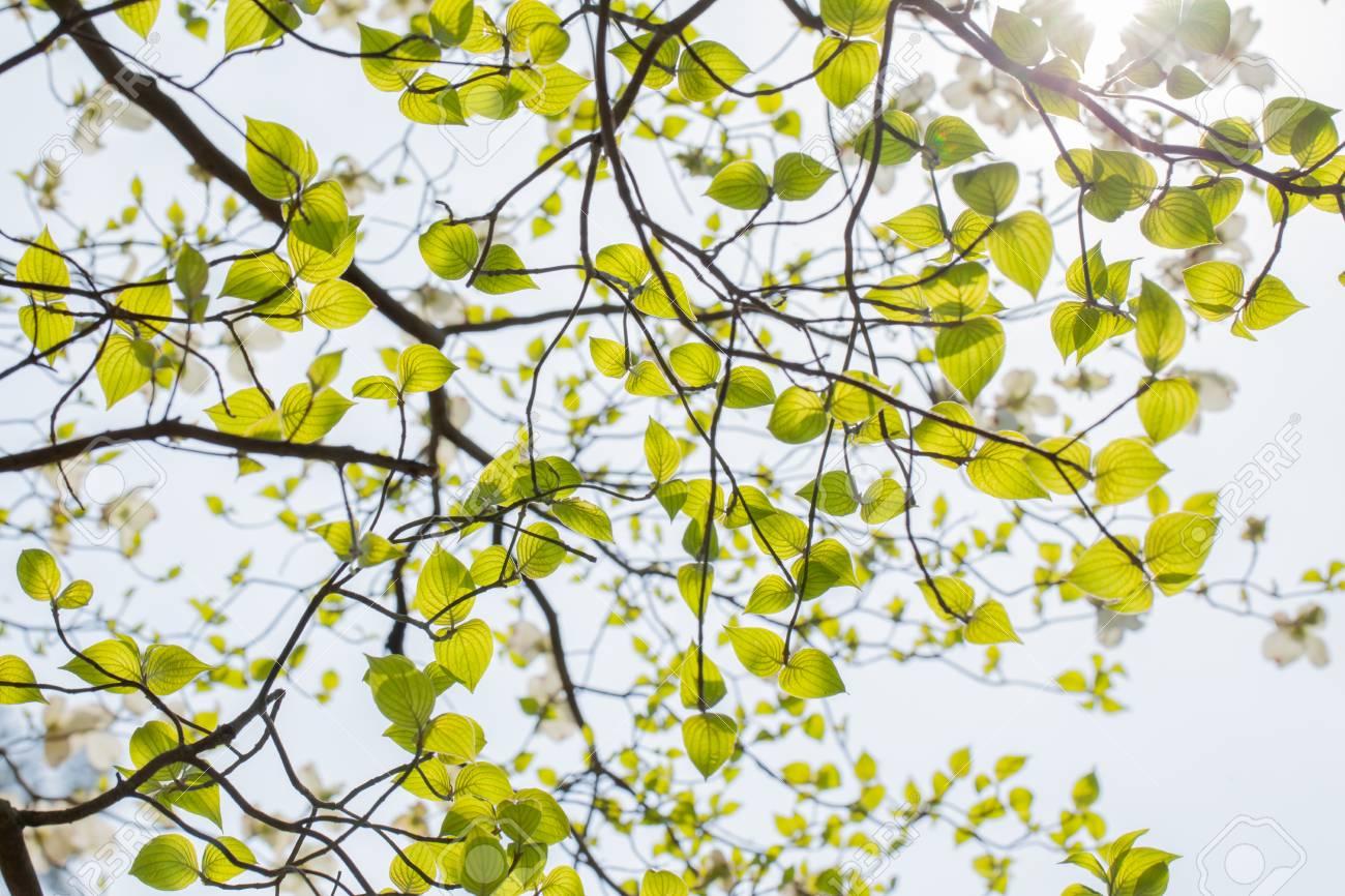 White Flowering Dogwood Tree Cornus Florida In Bloom In Sky Stock