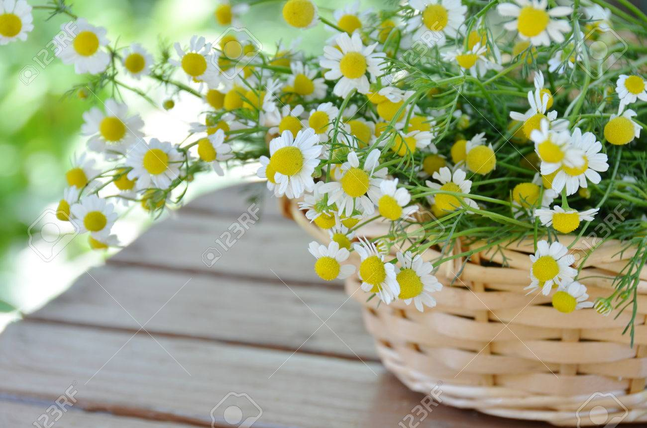 chamomile flowers in basket - 26795444