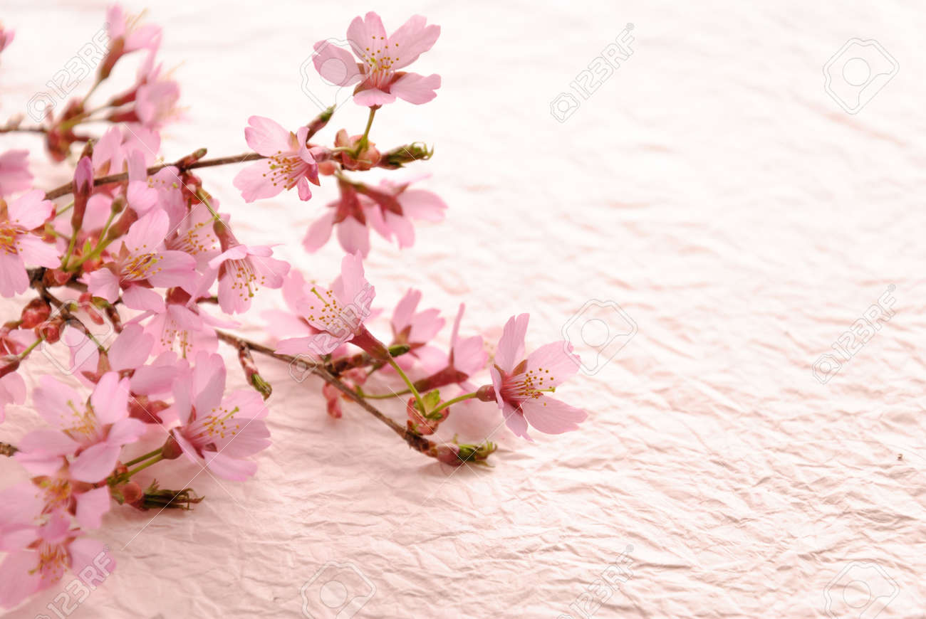 branch of cherry blossom on the pink paper background - 50454010