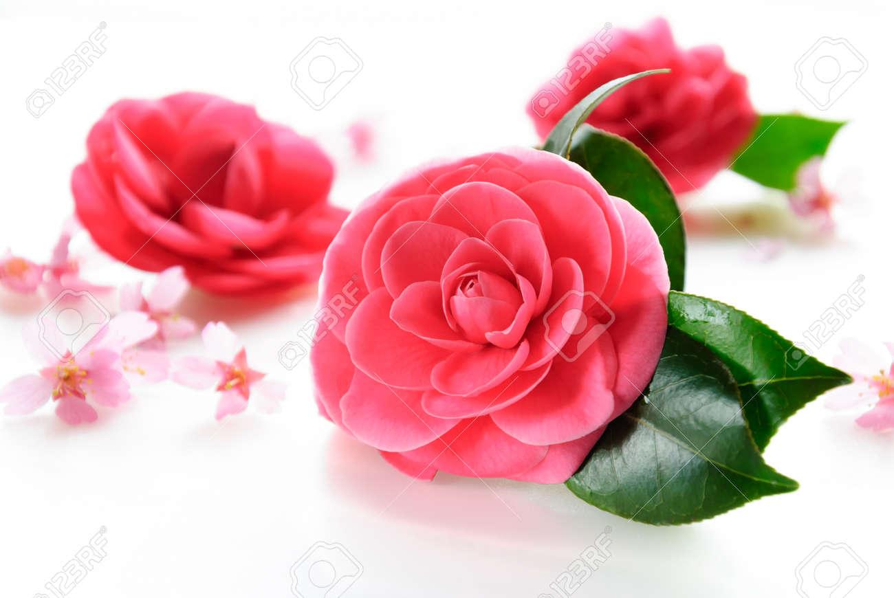 camellia and cherry blossom - 50454016