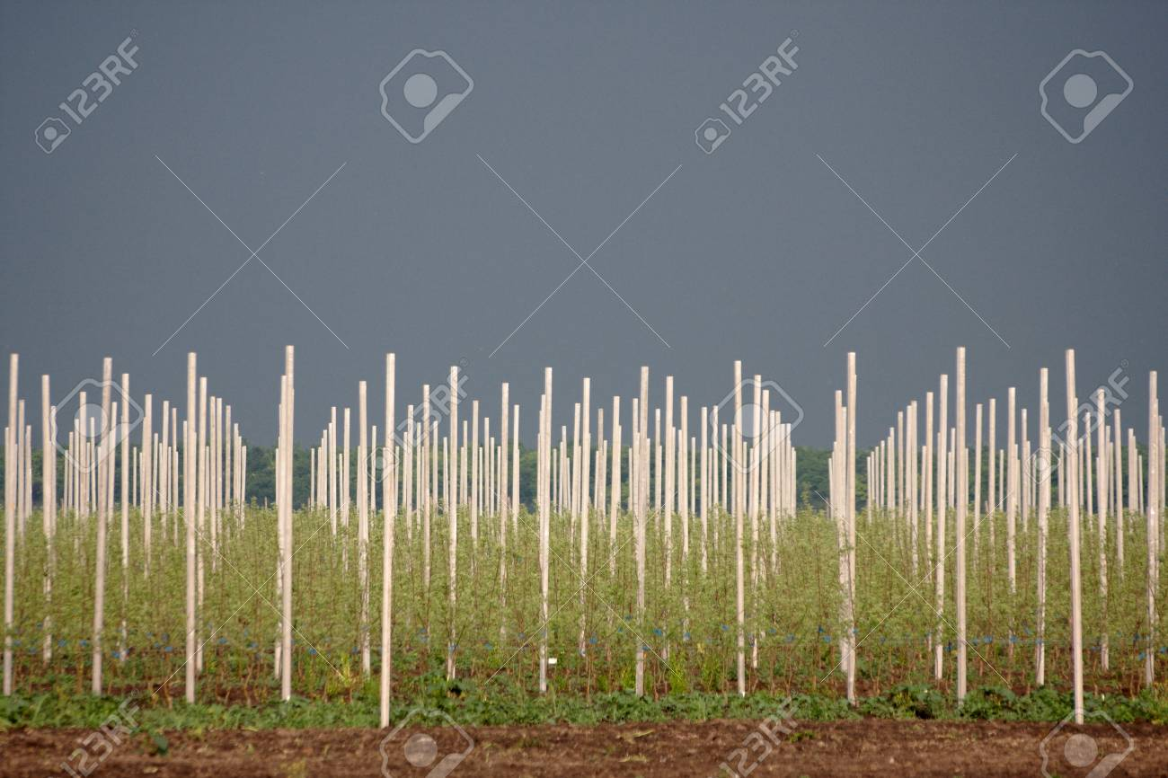 View on rows of apple trees in orchard Stock Photo - 8665603