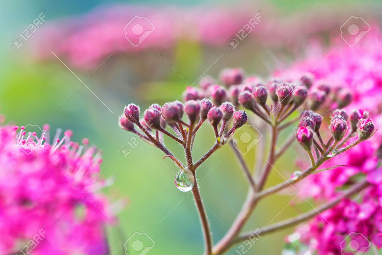 Small decorative pink flowers with long stamens with dew drops small decorative pink flowers with long stamens with dew drops on stems after rain stock photo mightylinksfo