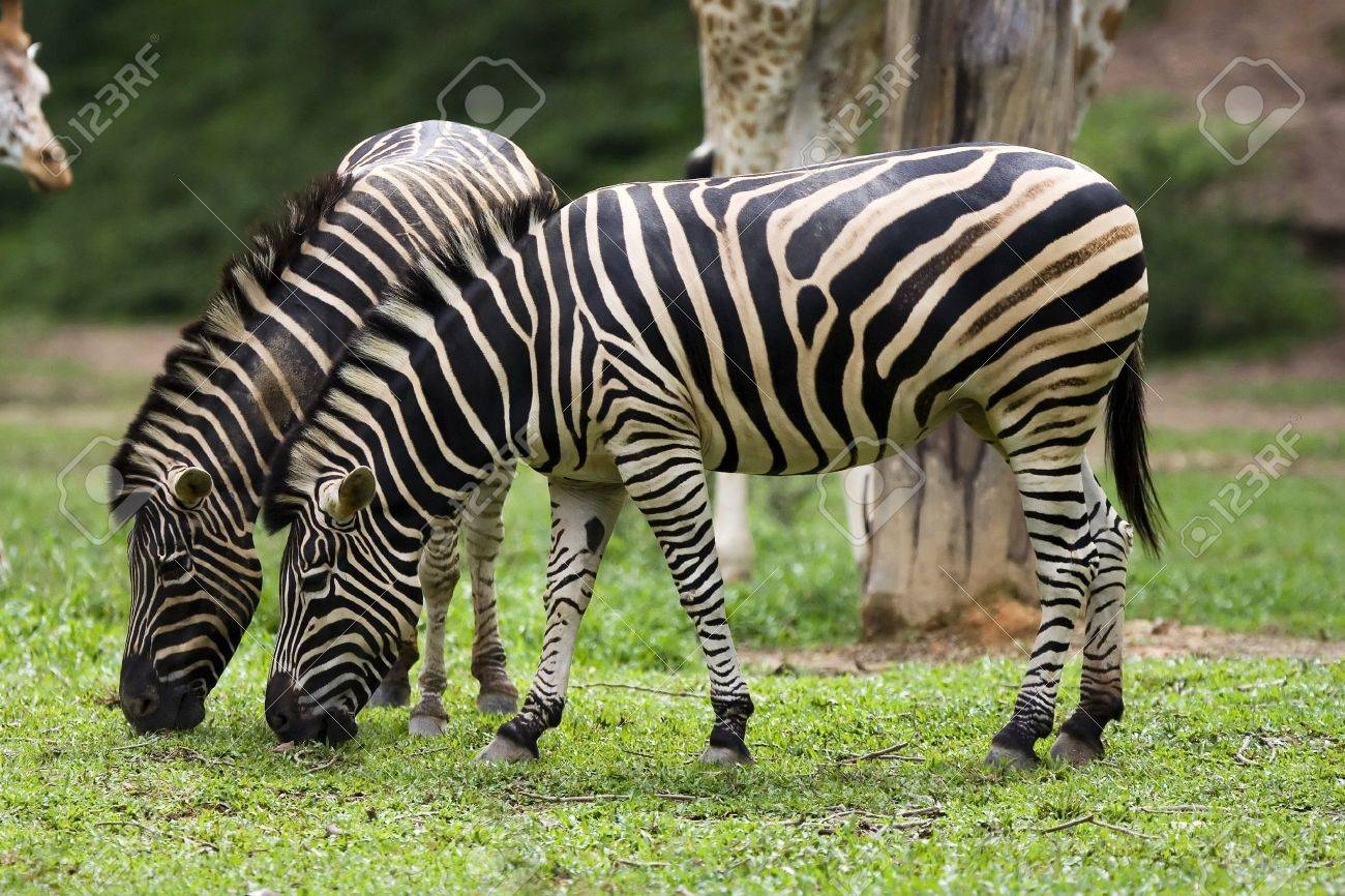 a couple of zebra eating grass in the zoo stock photo picture