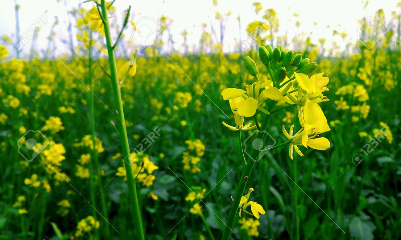 Beautiful Yellow Flowers In Spring Season Stock Photo Picture And