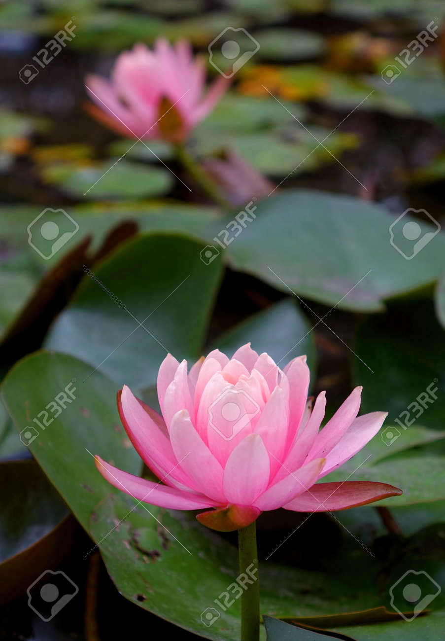 The beautiful lotus flower is a symbol for buddhism in asia stock stock photo the beautiful lotus flower is a symbol for buddhism in asia izmirmasajfo