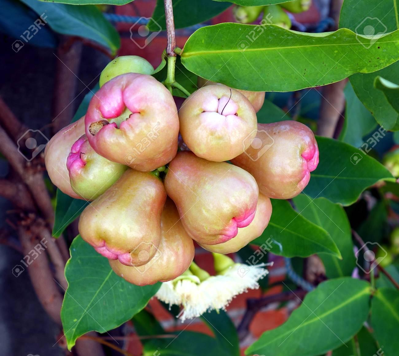 Wax apples or bell fruits (Syzygium samarangense) are a popular