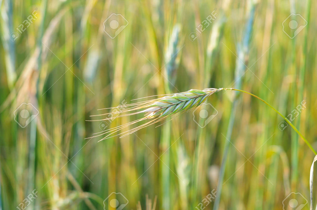 close up of a field of cereal Stock Photo - 7354711