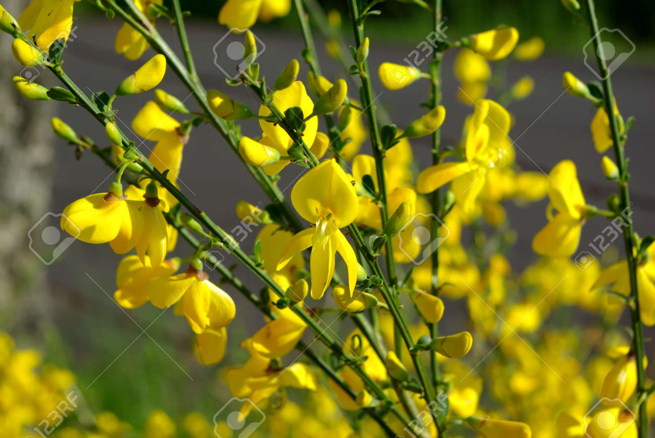 Yellow Broom Flowers Stock Photo Picture And Royalty Free Image