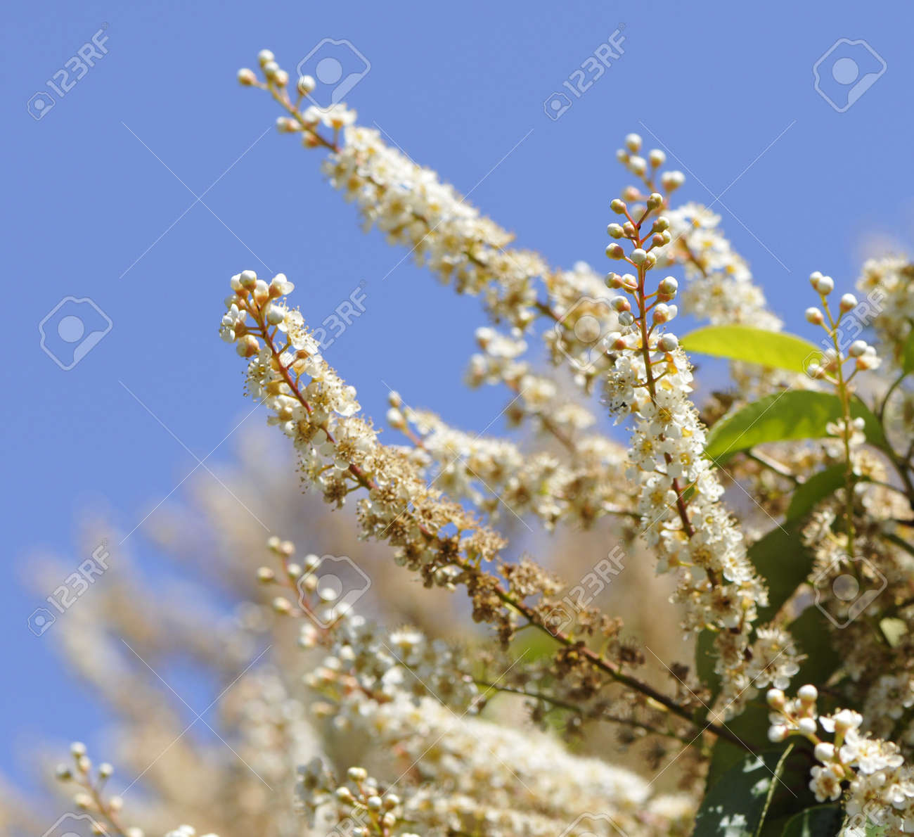 Many Little White Flowers And Buds In A Big Bush With A Blue Stock