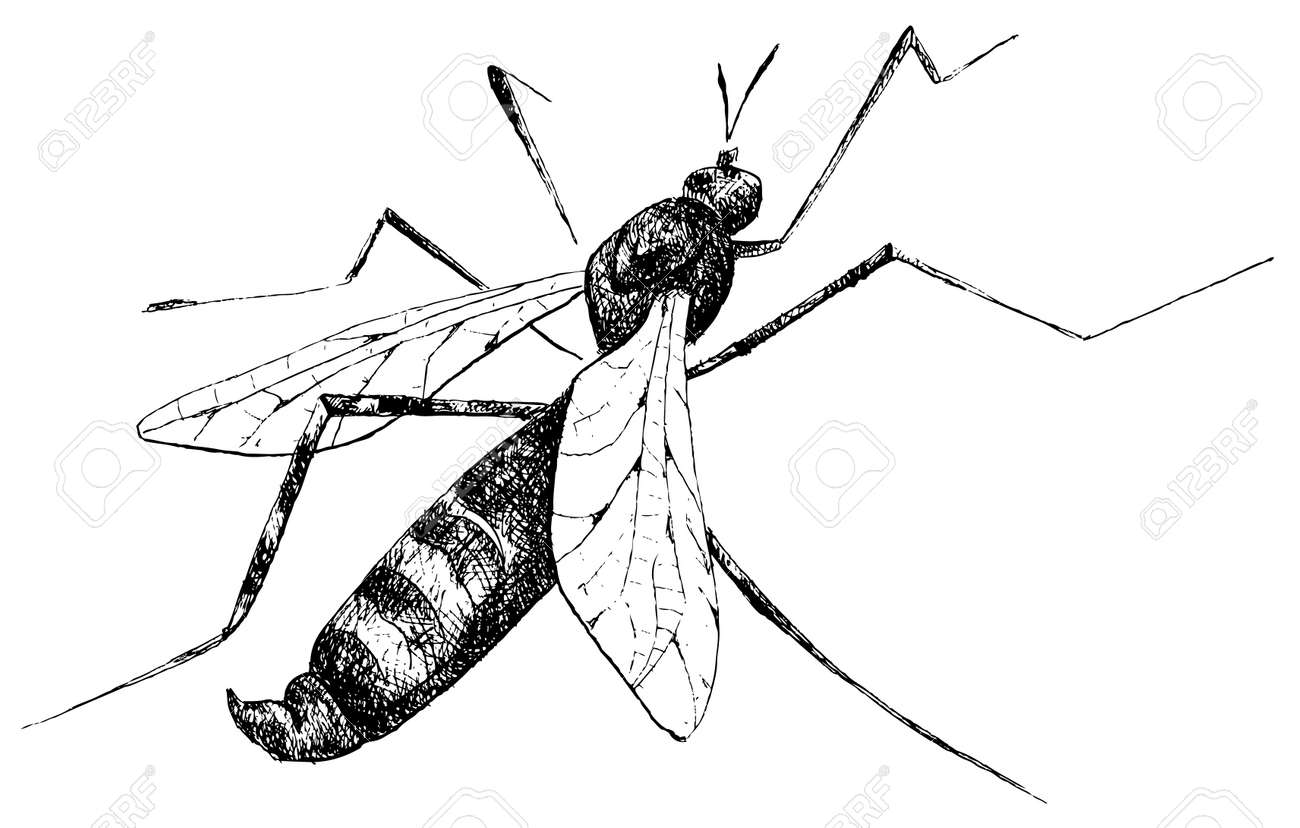 Detailed mosquito pencil drawing style vector