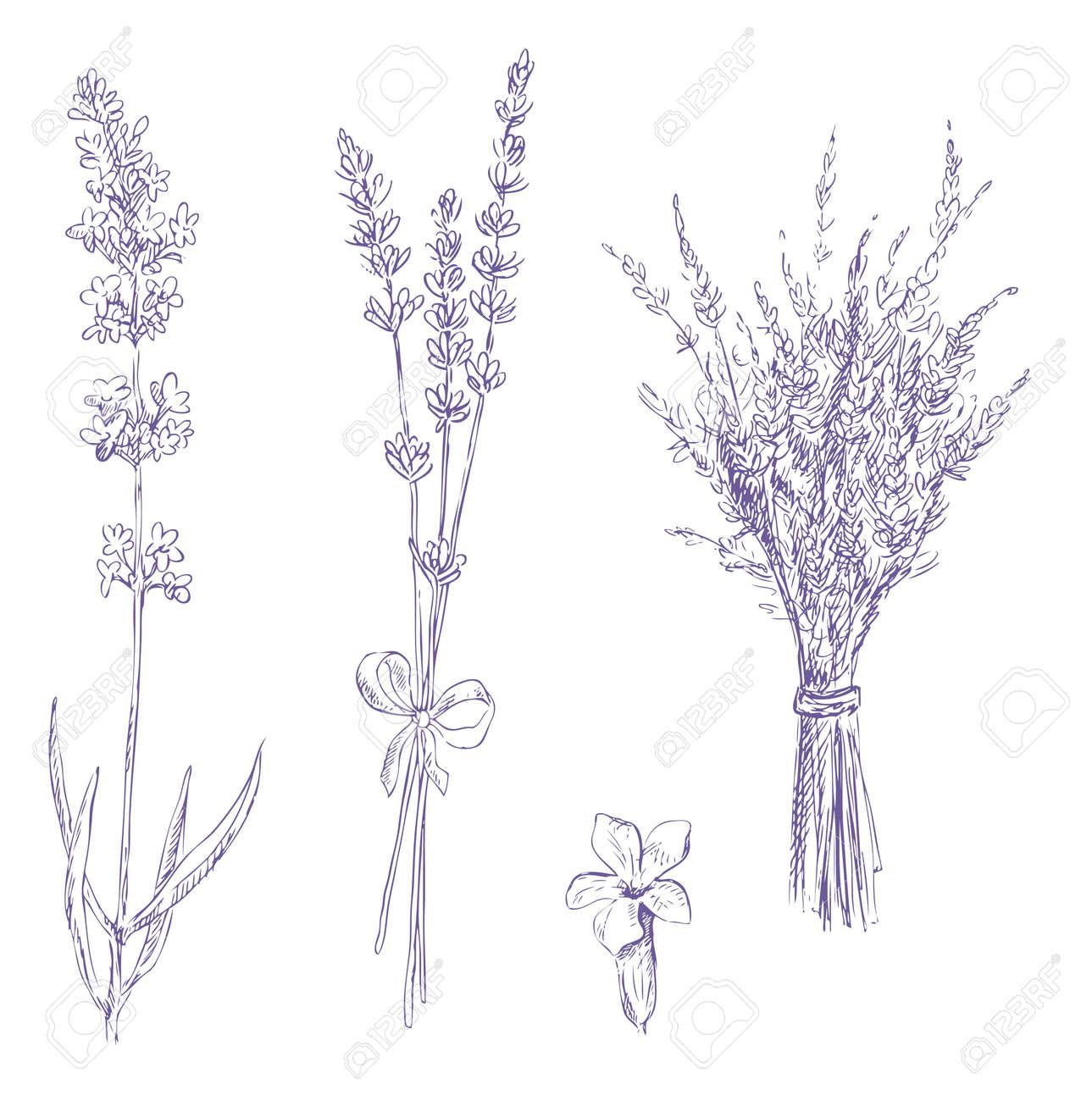 Lavender pencil drawing vector set stock vector 13561208