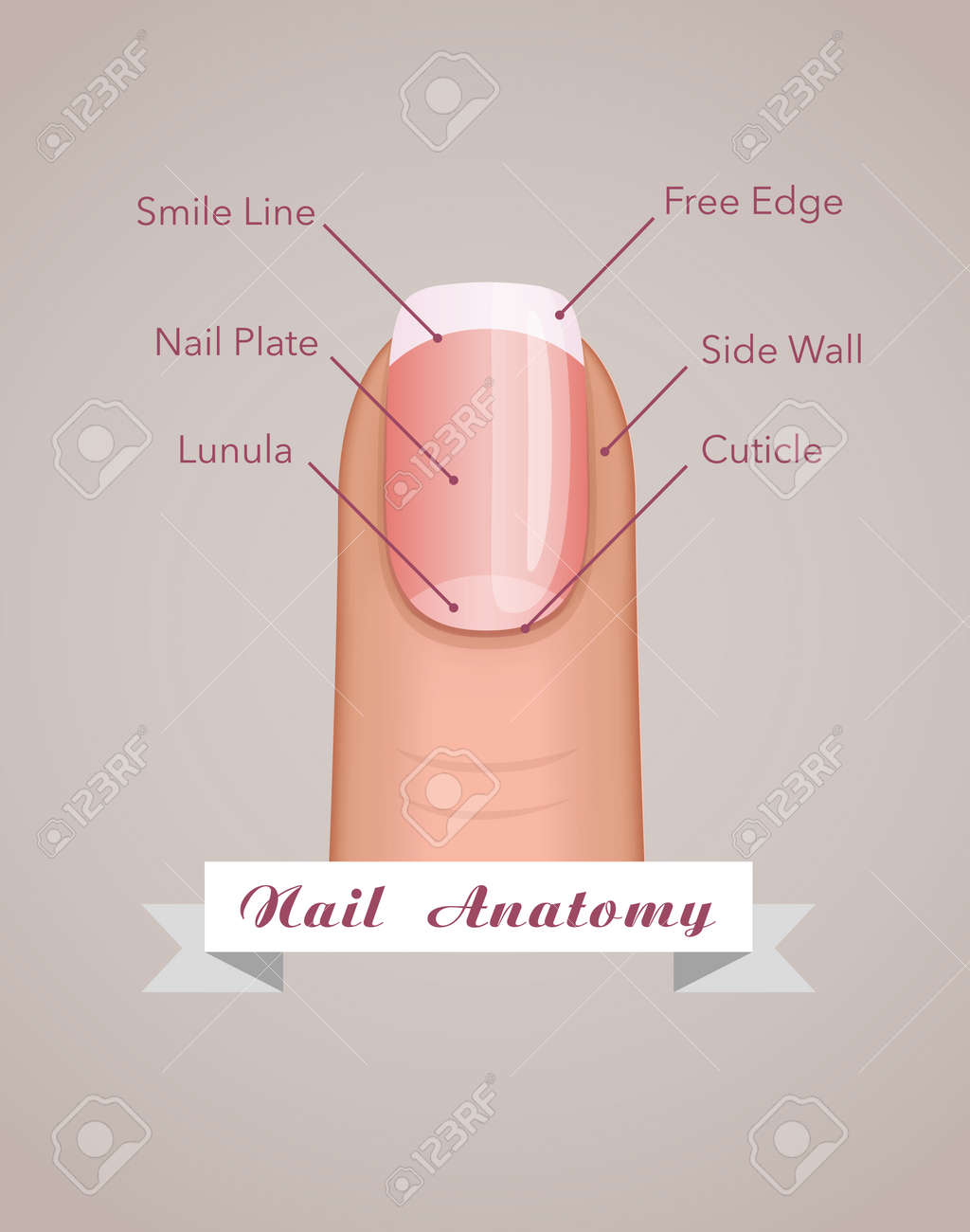 Structure And Anatomy Of Human Nail Vector Concept Royalty Free