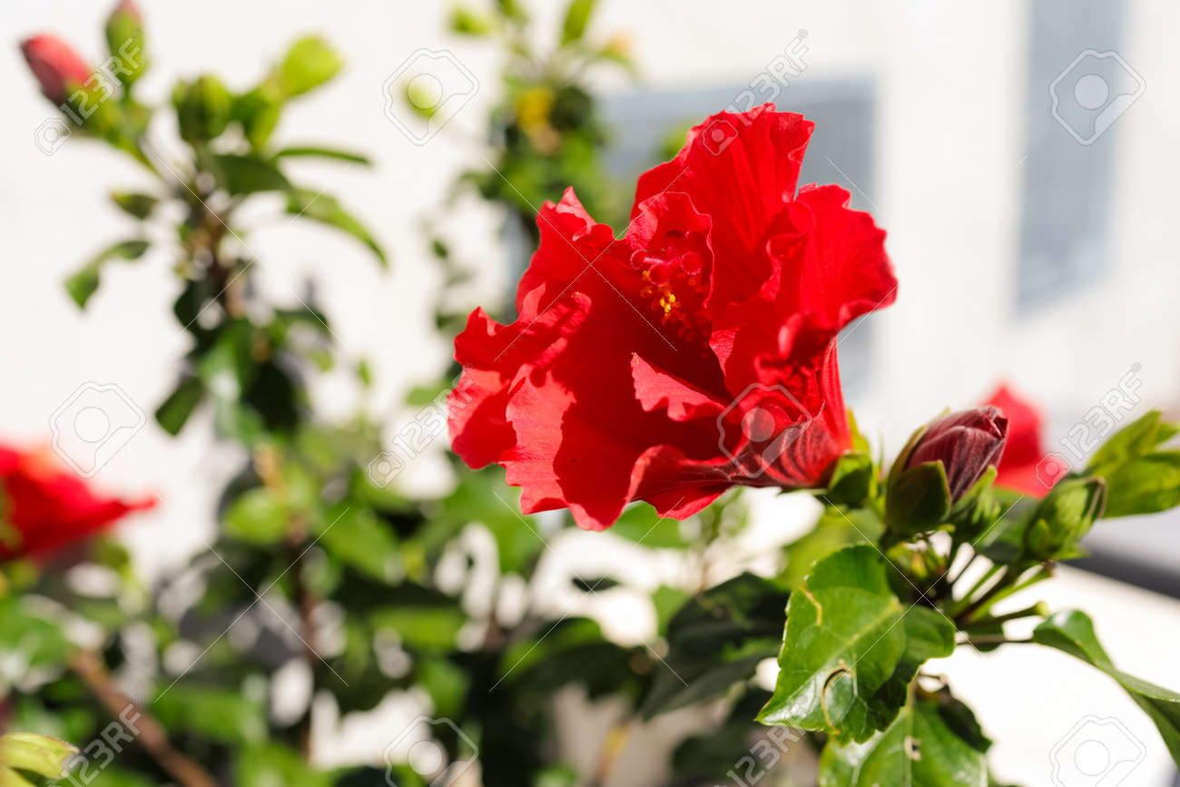 Double Red Hibiscus Plant Blossom In Outdoor Garden Stock Photo
