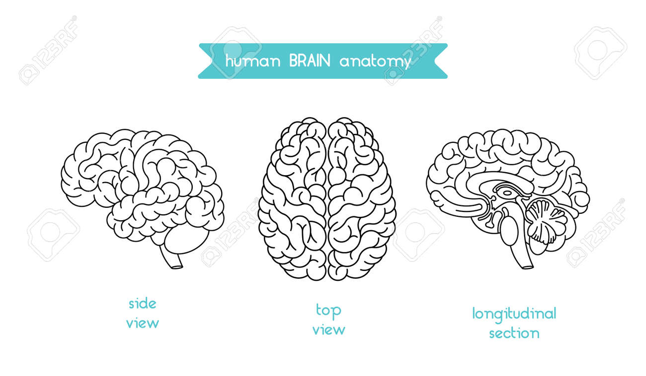Human brain logo vector logo of human brain view brain outline human brain logo vector logo of human brain view brain outline logo for medical ccuart Choice Image