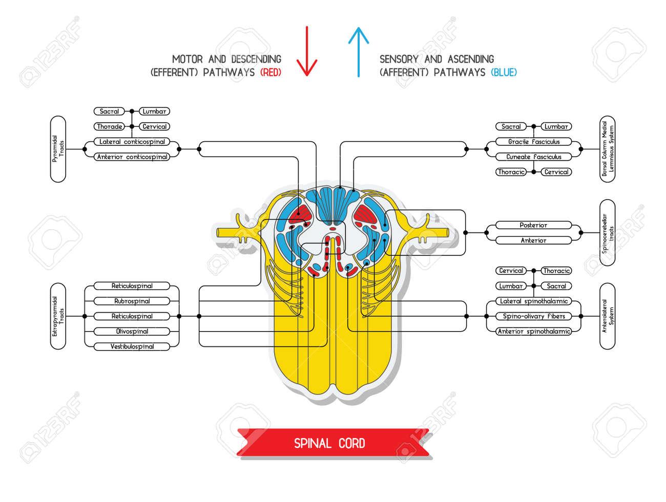 Querschnitt Des Rückenmarks. Zentrales Nervensystem. Vector ...