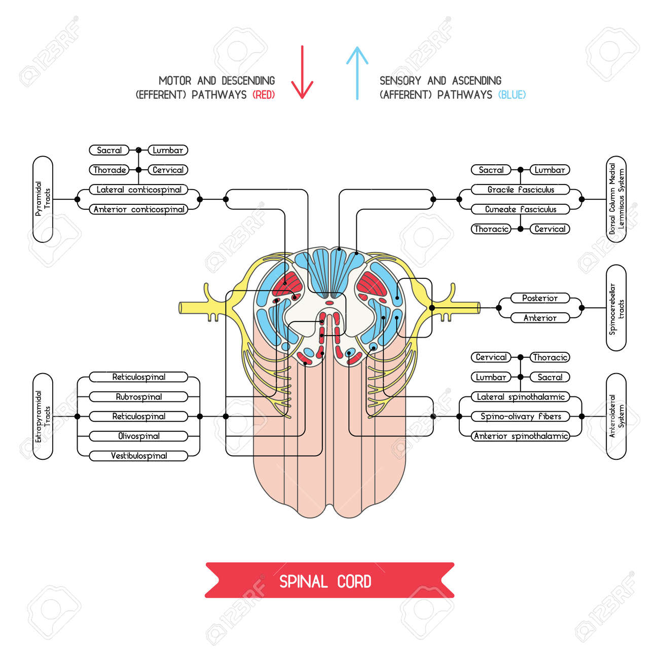 Cross section of spinal cord central nervous system vector cross section of spinal cord central nervous system vector spinal cord spinal reflex pooptronica