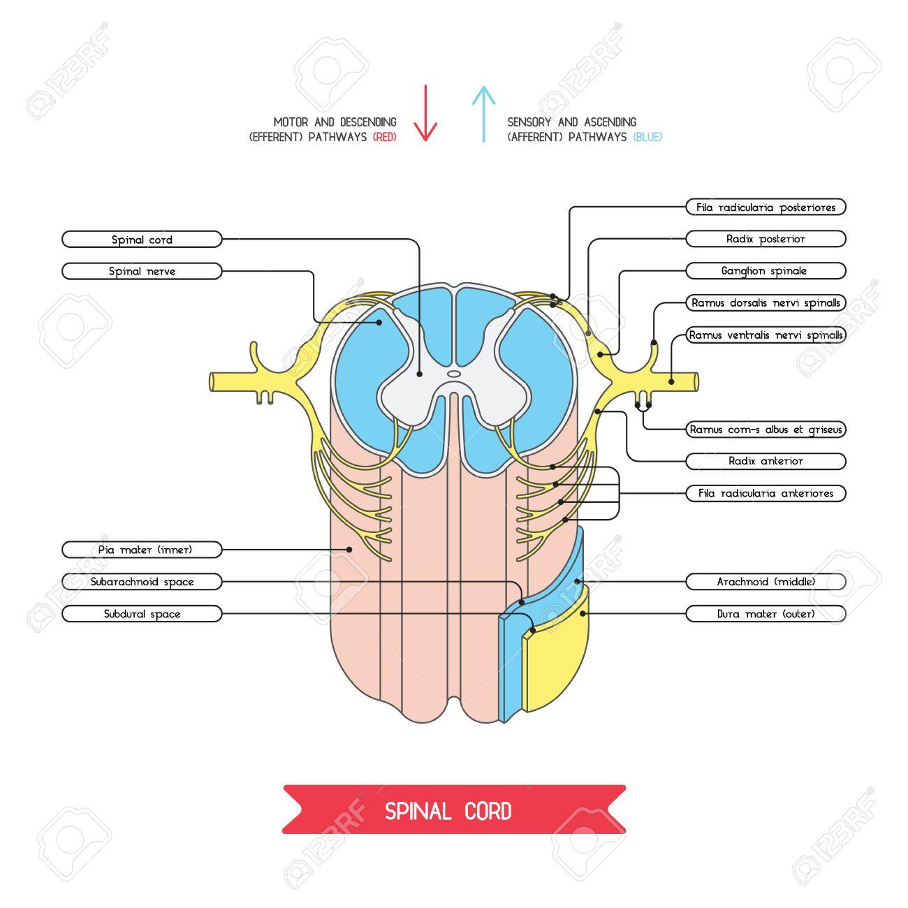 Corte Transversal De La Médula Espinal. Sistema Nervioso Central ...