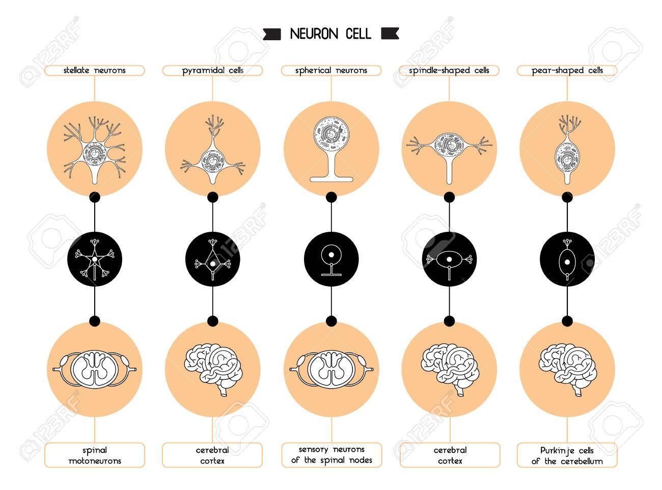 Die Neuronen Des Gehirns Und Des Rückenmarks. Neuron Zellbiologie ...