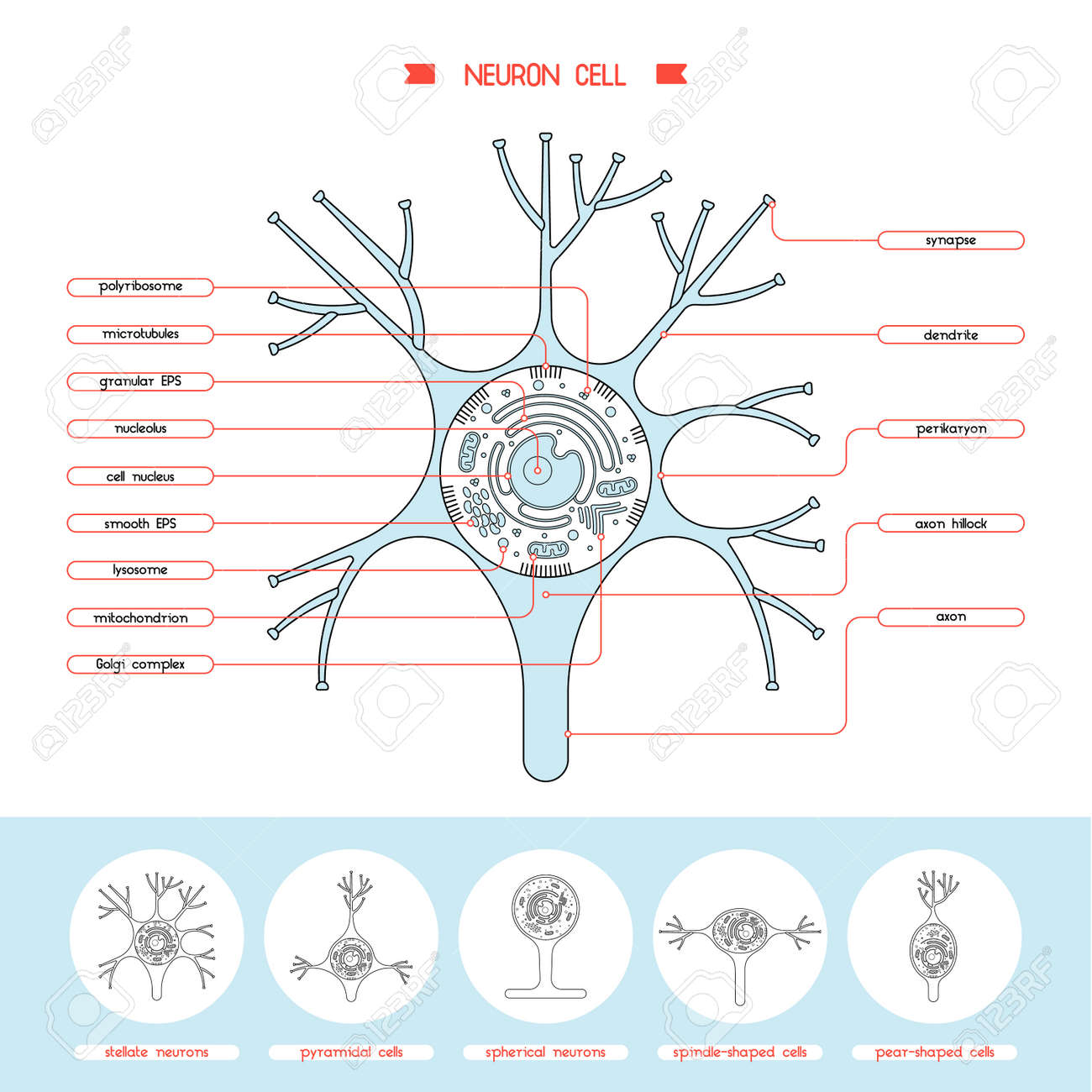 Isolated neurone cell biology diagram neurone cell anatomy isolated neurone cell biology diagram neurone cell anatomy structure vector illustration axon cell body ccuart Choice Image