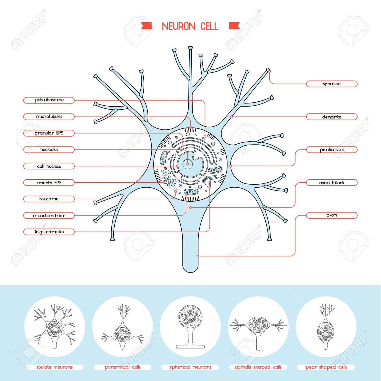 Neurona Aislados Diagrama De La Biología Celular. Ilustración De La ...