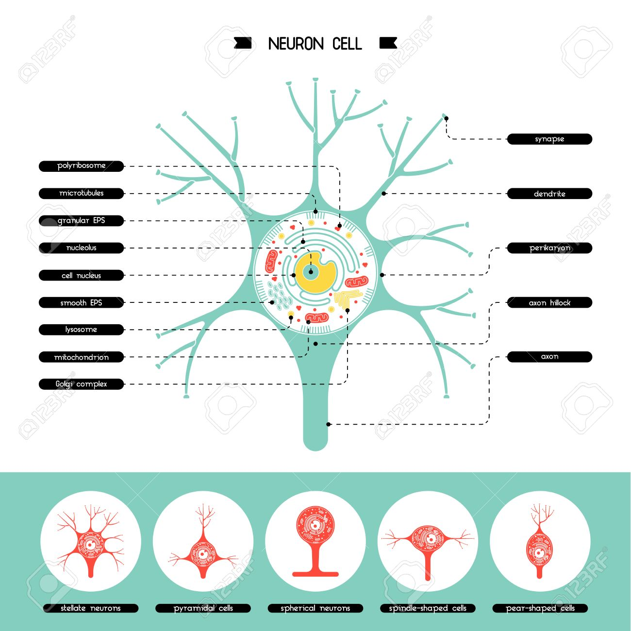 Isolated Neurone Cell Biology Diagram Neurone Cell Anatomy