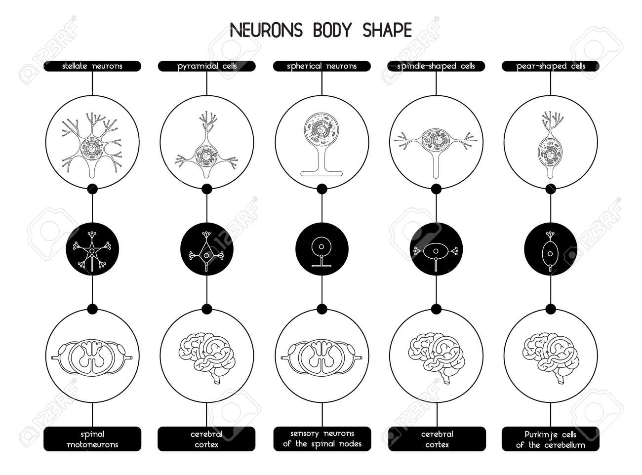 The Neurons Of The Brain And Spinal Cord Neuron Cell Biology