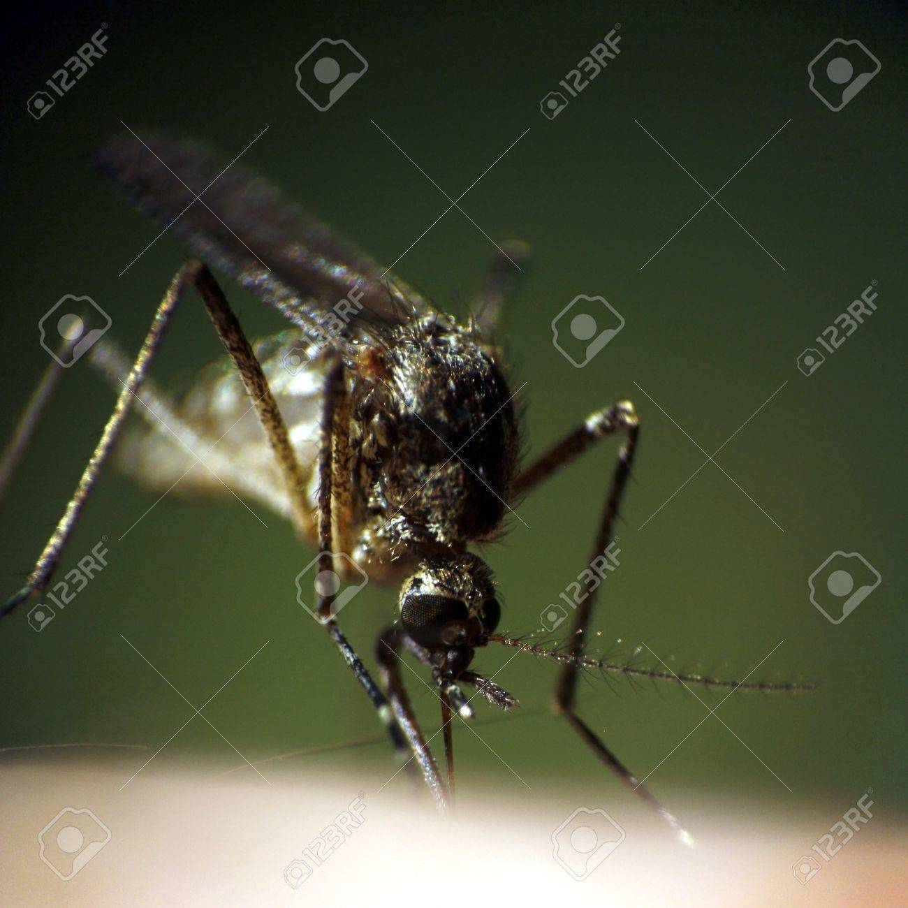 Super macro photography of sucking mosquito at green background Stock Photo - 11207879